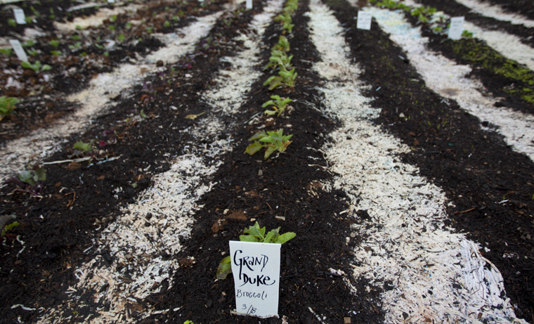 This semester, the Growing Sustainability in the Student Garden class, taught by Christian Ryan-Downing, is growing a garden at the University Farm. The garden covers an acre and a half and uses shredded paper as mulch.