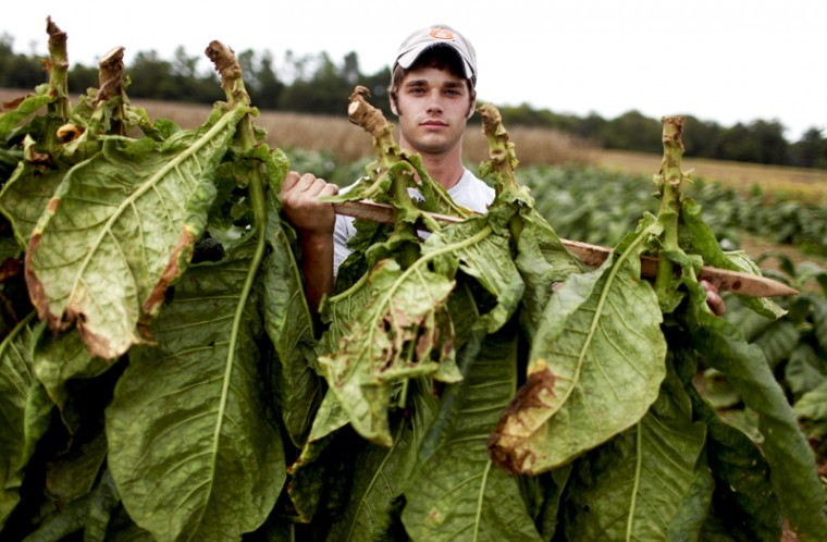 Allensville+graduate+student+Will+Penick+is+experimenting+with%0Adark+tobacco+planted+in+untilled+soil+in+comparison+to+nomal-tilled%0Asoil+tobacco.%C2%A0+Even+with+farmers+moving+away+from+tobacco%2C+Penick%0Abelieves+it+still+has+a+place+in+Kentucky+agriculture.%0A
