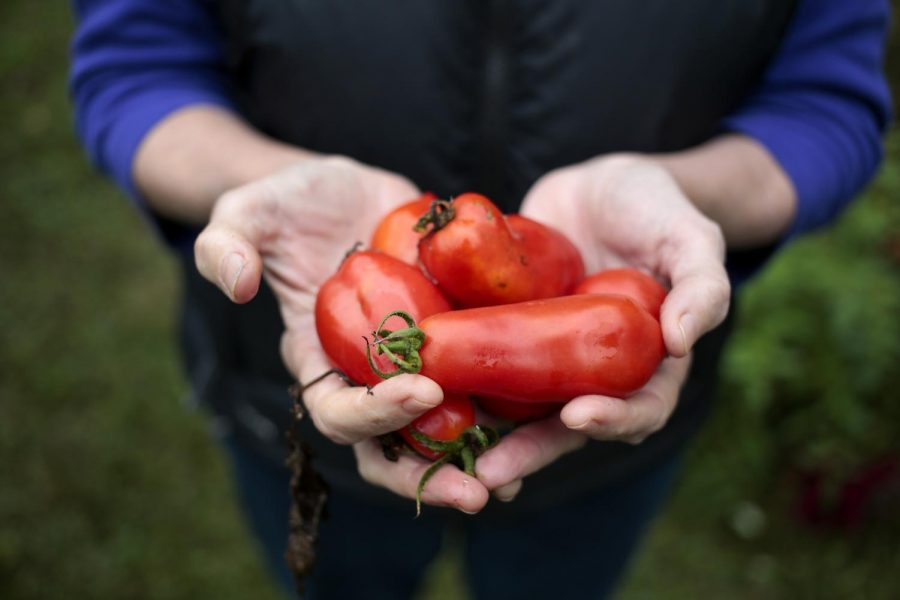 Dr. Erika Brady holds Roma tomatoes she just harvested from her backyard vegetable garden.