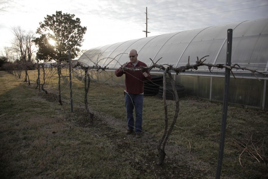 Vineyard+manager+and+WKU+alumnus+Ryan+Phelps+of+Somerset%2C+Ky.%2C+spends+his+Saturday+afternoon+pruning+the+vineyard+at+the+WKU+farm%2C+Feb.+6%2C+2015.+Ashley+Cooper%2FHERALD+ARCHIVE