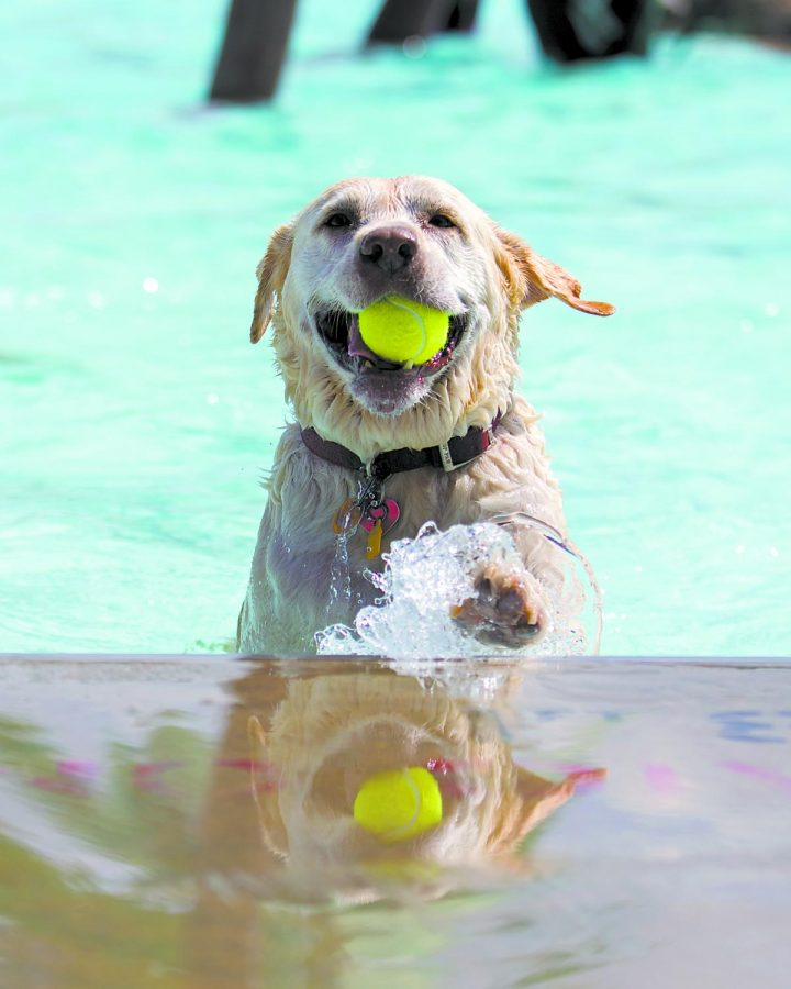 Buddy, an 11-year-old English Labrador swims during the Puppy Paddle on Saturday, Sept. 10 at the Russell Sims Aquatic Center. Buddy attends the Puppy Paddle every year, his owner Jean Grout said. Evan Boggs/HERALD