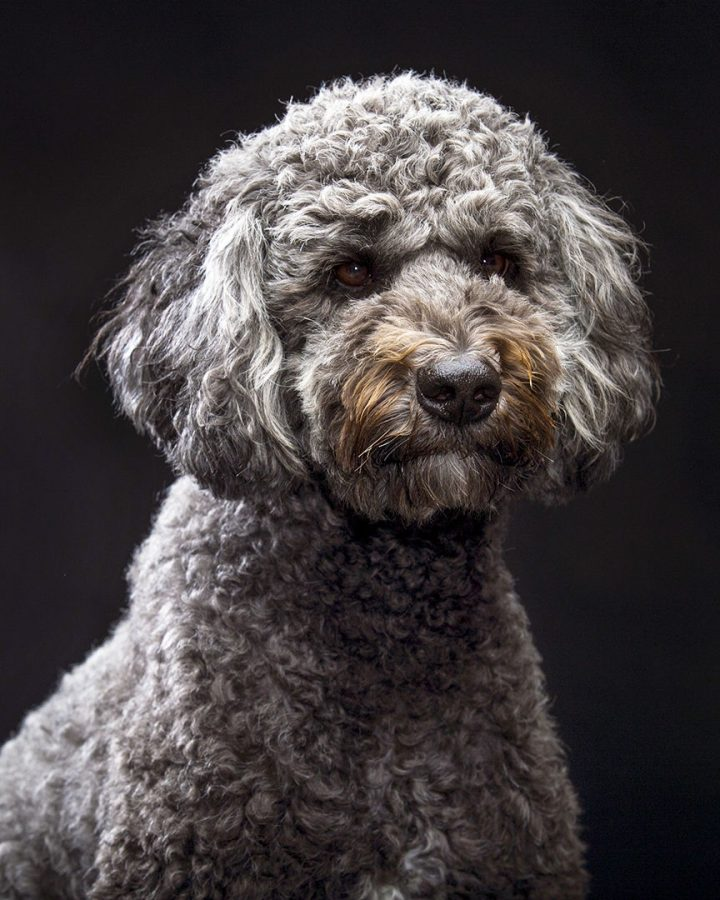Star is a three-year-old poodle and Australian shepherd mix. She can normally be found in the WKU Counseling and Testing Center where she works as a therapy dog.
