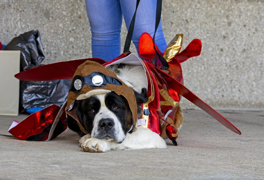 Tank the Saint Bernard waits in-between sessions of the WKU circle of sisterhood's puppy pageant on March 31. This segment of the pageant featured dogs and their owners in accompanying costumes.